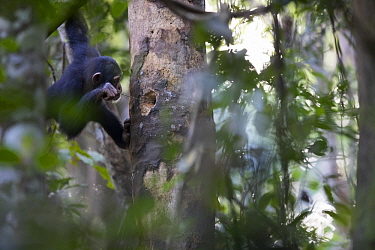Chimpanzee (Pan troglodytes) using stick to forage for prey in small tree cavity, Bossou, Guinea