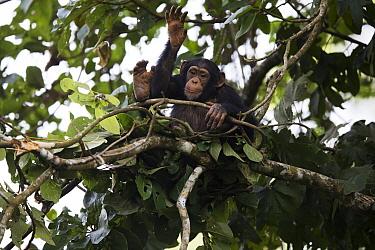 Chimpanzee (Pan troglodytes) five year old juvenile male named Fanwwaa drumming on branch in nest, Bossou, Guinea