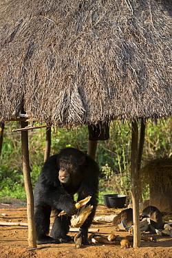 Chimpanzee (Pan troglodytes) male named Jeje stealing corn from hut, Bossou, Guinea