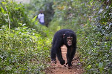 Chimpanzee (Pan troglodytes) five year old juvenile male named Fanwwaa running on path near person, Bossou, Guinea