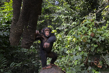 Chimpanzee (Pan troglodytes) five year old juvenile male named Fanwwaa throwing bark, Bossou, Guinea. Sequence 2 of 3