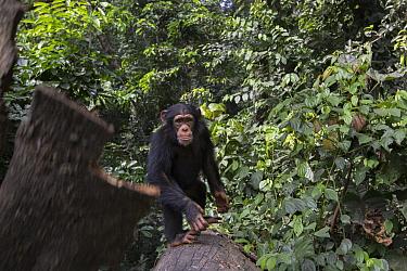 Chimpanzee (Pan troglodytes) five year old juvenile male named Fanwwaa throwing bark, Bossou, Guinea. Sequence 3 of 3