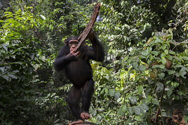Chimpanzee (Pan troglodytes) five year old juvenile male named Fanwwaa throwing bark, Bossou, Guinea