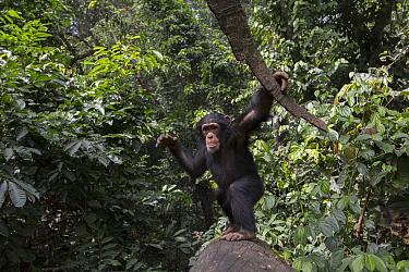 Chimpanzee (Pan troglodytes) five year old juvenile male named Fanwwaa throwing bark, Bossou, Guinea. Sequence 1 of 3