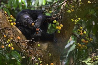 Chimpanzee (Pan troglodytes) female named Jire feeding on fruit, Bossou, Guinea