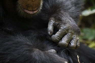 Chimpanzee (Pan troglodytes) pair grooming, Bossou, Guinea
