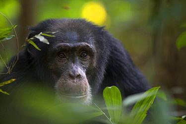 Chimpanzee (Pan troglodytes) male named Jeje, Bossou, Guinea