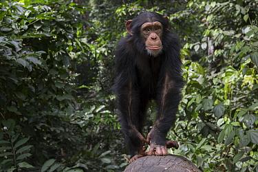 Chimpanzee (Pan troglodytes) five year old juvenile male named Fanwwaa, Bossou, Guinea