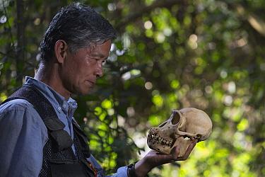 Chimpanzee (Pan troglodytes) biologist, Professor Matsuzawa, holding skull, Bossou, Guinea