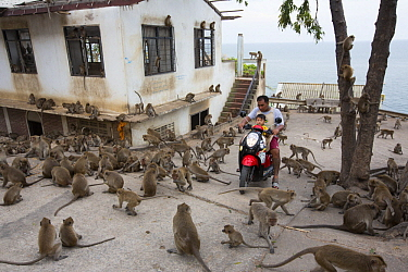 Long-tailed Macaque (Macaca fascicularis) troop at temple in city, Thailand