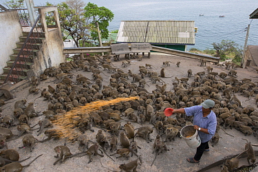 Long-tailed Macaque (Macaca fascicularis) troop being fed by man in city, Thailand