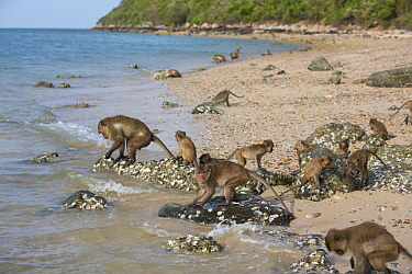 Long-tailed Macaque (Macaca fascicularis) troop foraging in intertidal zone, Khao Sam Roi Yot National Park, Thailand