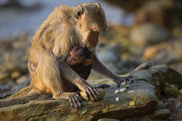 Long-tailed Macaque (Macaca fascicularis) mother with young using stone tool to break shell, Khao Sam Roi Yot National Park, Thailand. Sequence 2 of 4