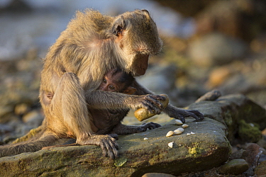 Long-tailed Macaque (Macaca fascicularis) mother with young using stone tool to break shell, Khao Sam Roi Yot National Park, Thailand. Sequence 3 of 4
