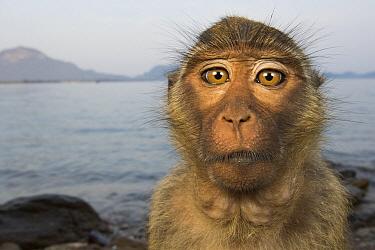 Long-tailed Macaque (Macaca fascicularis) portrait, Khao Sam Roi Yot National Park, Thailand