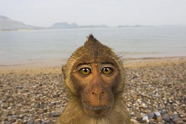 Long-tailed Macaque (Macaca fascicularis) on beach, Khao Sam Roi Yot National Park, Thailand