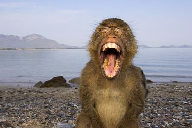 Long-tailed Macaque (Macaca fascicularis) juvenile yawning, Khao Sam Roi Yot National Park, Thailand