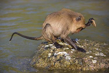 Long-tailed Macaque (Macaca fascicularis) using stone tool to break shell, Khao Sam Roi Yot National Park, Thailand