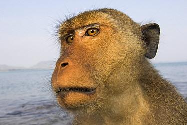 Long-tailed Macaque (Macaca fascicularis) male, Khao Sam Roi Yot National Park, Thailand