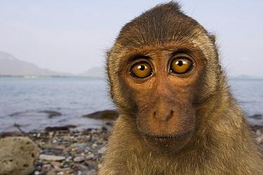 Long-tailed Macaque (Macaca fascicularis) juvenile, Khao Sam Roi Yot National Park, Thailand