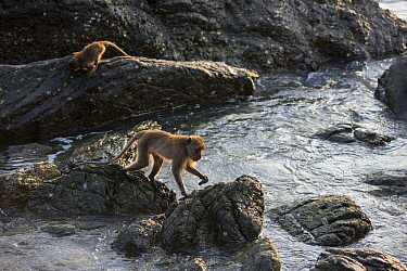 Long-tailed Macaque (Macaca fascicularis) pair foraging in intertidal zone, Khao Sam Roi Yot National Park, Thailand