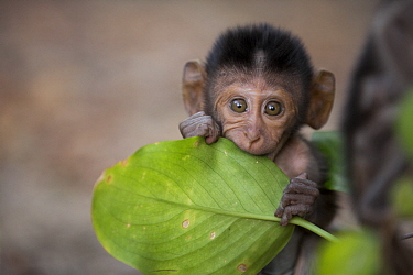 Long-tailed Macaque (Macaca fascicularis) young biting leaf, Khao Sam Roi Yot National Park, Thailand