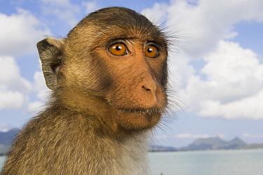 Long-tailed Macaque (Macaca fascicularis), Khao Sam Roi Yot National Park, Thailand