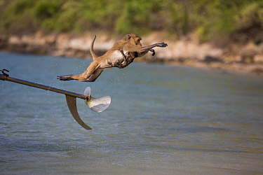 Long-tailed Macaque (Macaca fascicularis) mother and young jumping off boat propeller, Khao Sam Roi Yot National Park, Thailand