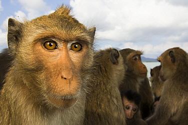 Long-tailed Macaque (Macaca fascicularis) troop, Khao Sam Roi Yot National Park, Thailand