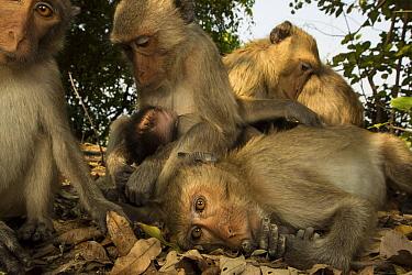 Long-tailed Macaque (Macaca fascicularis) group grooming, Khao Sam Roi Yot National Park, Thailand