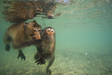 Long-tailed Macaque (Macaca fascicularis) pair looking underwater for food thrown by people, Thailand