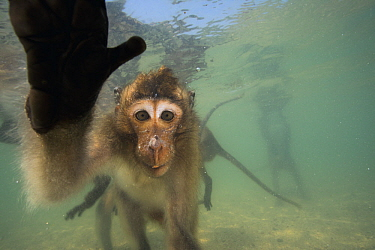 Long-tailed Macaque (Macaca fascicularis) group looking underwater for food thrown by people, Thailand