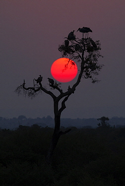 Marabou Stork (Leptoptilos crumeniferus) and vulture flock in tree at sunset, Serengeti National Park, Tanzania