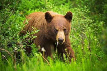Black Bear (Ursus americanus) female grazing, Banff National Park, Alberta, Canada
