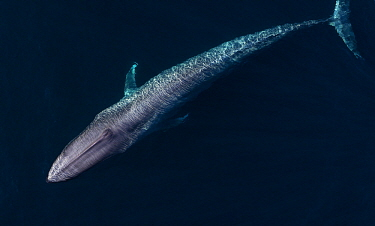 Blue Whale (Balaenoptera musculus), Monterey Bay, California