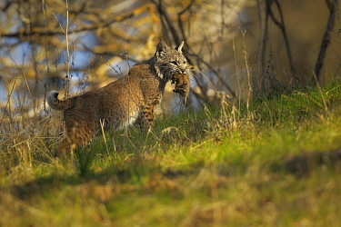 Bobcat (Lynx rufus) with Botta's Pocket Gopher (Thomomys bottae) prey, Morgan Hill, California