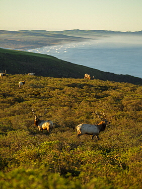Tule Elk (Cervus elaphus nannodes) males along coast, Point Reyes National Seashore, California