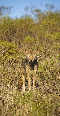 Coyote (Canis latrans), Point Reyes National Seashore, California