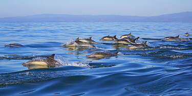 Long-beaked Common Dolphin (Delphinus capensis) pod porpoising, Monterey Bay, California