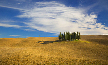 Cypress (Cupressus sp) trees in field, Tuscany, Italy