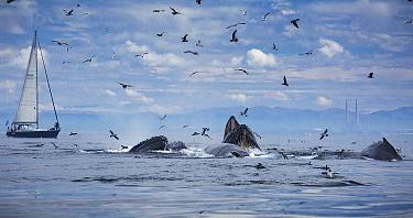 Humpback Whale (Megaptera novaeangliae) pod gulp feeding near sailboat, Monterey Bay, California