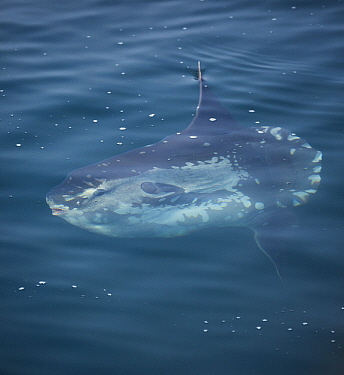 Ocean Sunfish (Mola mola) near surface, Monterey Bay, California