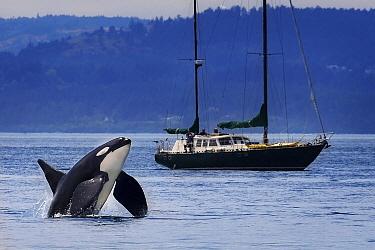 Orca (Orcinus orca) breaching near sailboat, San Juan Islands, Washington
