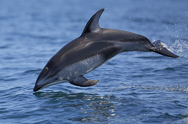 Pacific White-sided Dolphin (Lagenorhynchus obliquidens) leaping, Monterey Bay, California