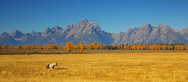 Domestic Horse (Equus caballus) in meadow, Grand Teton National Park, Wyoming