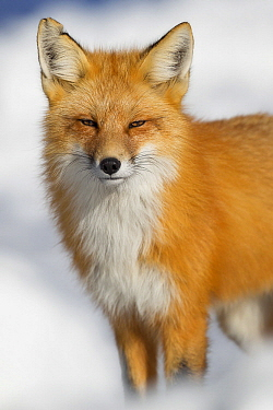 Red Fox (Vulpes vulpes) in winter, Grand Teton National Park, Wyoming