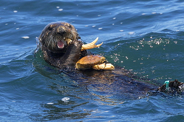 Sea Otter (Enhydra lutris) feeding on Dungeness Crab (Cancer magister), Monterey Bay, California