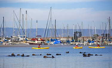 Sea Otter (Enhydra lutris) group and kayakers, Moss Landing, California