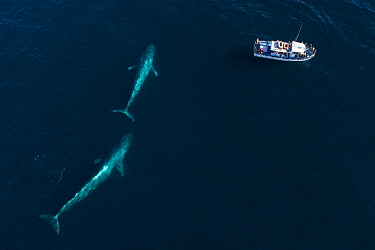 Blue Whale (Balaenoptera musculus) pair and whale watching boat, Monterey Bay, California
