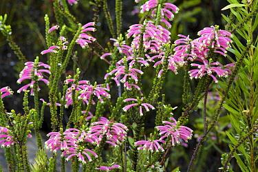 Heath (Erica sp) flowering, Montagu Pass, South Africa